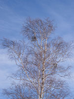 Branches of a birch against the sky