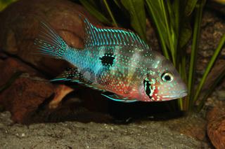 Mexikanischer Feuermaulbuntbarsch (Thorichthys ellioti) / Mexican Fire Mouth (Thorichthys ellioti)