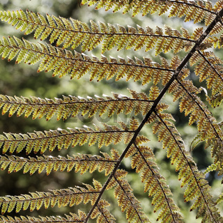Dicksonia squarrosa, Neuseeländischer Taschenfarn