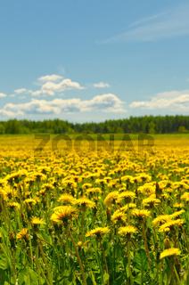 dandelion field, shallow focus