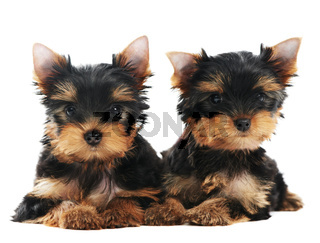 Two Yorkshire Terrier 3 month puppies dog