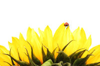 ladybug on sunflower isolated white background