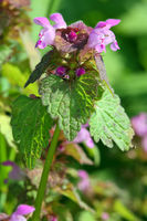 Purpurrote Taubnessel, Lamium purpureum, Red Deadnettle