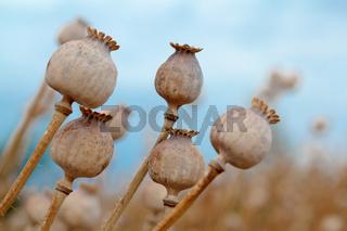 Detail of tree poppyheads on the field