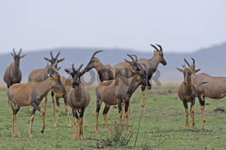 Leierantilope oder Topi, Topis  (Damaliscus lunatus)  Masai Mara
