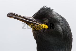 Krähenscharbe (Phalacrocorax aristotelis)
