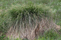 Greater tussock sedge, Rispen-Segge, Carex paniculata
