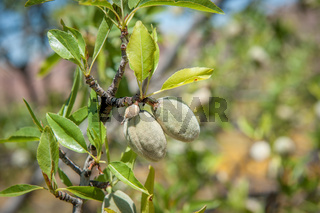 Almond fruits