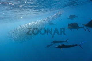 Atlantische Segelfische jagen Sardinen