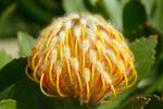 Blüte des Silberbaumgewächses -  Proteaceae
