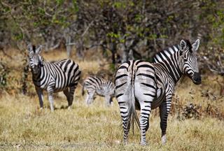 Zebra im Moremi Game Reserve, Botswana; zebra at Moremi Game Reserve, Botsuana, plains zebra, Equus quagga