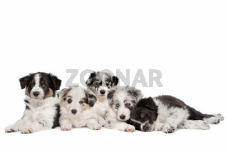 Group of five border collie puppies