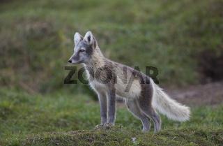 Europaeischer Eisfuchs - White fox - Polar fox - Snow fox