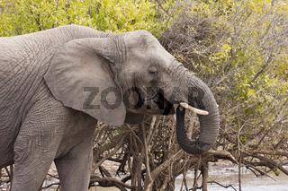 Elefant (loxodonta africana)am Wasserloch
