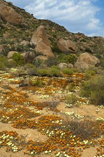 Flächen mit blühenden Pietsnot (Grielum humifusum) und Käfer-Daisies (Gorteria diffusa) zur Frühlingsblüte in der Nama-Karoo