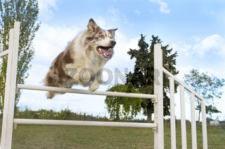 jumping  border collie