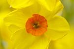 Poetaz Narzisse - Narcissus - Scarlet Gel
