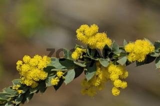 Blühender Zweig von Acacia vestita