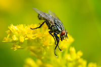 Common Flesh Fly - Graue Fleischfliege