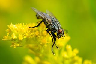 Common Flesh Fly - Graue Fleischfliege