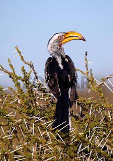 Gelbschnabeltoko, Yellowbilled Hornbill, Tockus leucomelas, yellow-billed hornbill, Botswana, Botsuana