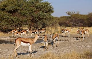 Springbock, Central Kalahari Game Reserve, Botswana, Botsuana, Antidorcas marsupialis, Springbok
