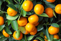 chinese kumquat for chinese new year