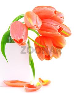 Fresh pink tulip flowers