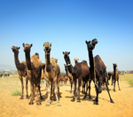 camels during festival in Pushkar