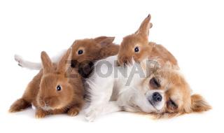 chihuahua and bunnies