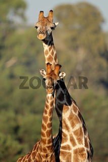 Giraffe interaction