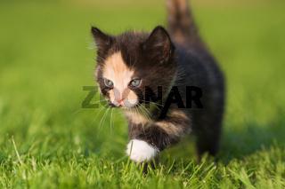Katzenbaby läuft über die Wiese