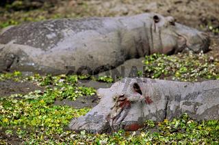 Hippos im South Luangwa Nationalpark, Zambia; Hippos at South Luangwa, Zambia