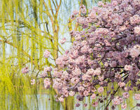 Detail photo of japanese cherry blossom flowers and willow tree
