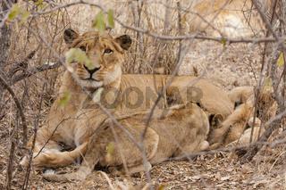Löwin mit Jungtier (Panthera leo)