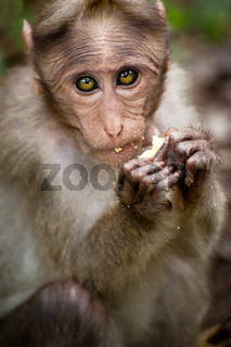 Small monkey eating food in bamboo forest. South India
