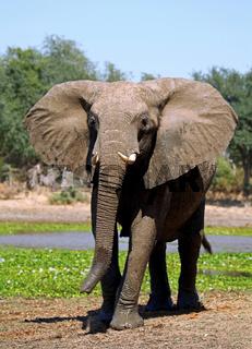 Elefant im Lower Zambezi Nationalpark, Sambia; Loxodonta africana; elephant at Lower Zambezi National Park, Zambia