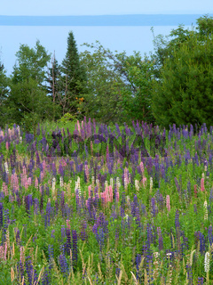 Lupine Flowers along Lake Superior