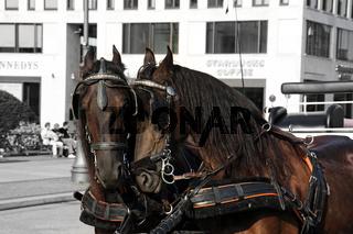 berliner pferde