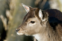 Portrait eines Hirschkalbs / Portrait of deer fawn