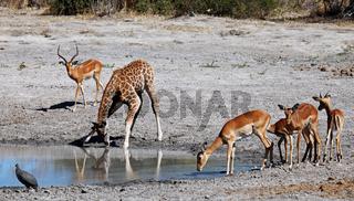 Junge Giraffe und Impalas im Chobe Nationalpark, Savuti, Botswana; young Giraffe and impalas at Chobe National Park, Botsuana