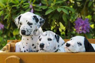 Drei Dalmatiner Welpen, fuenf Wochen alt