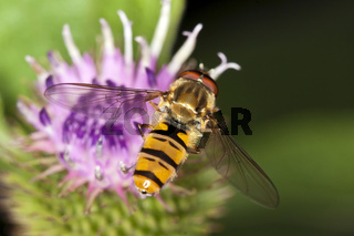 Episyrphus balteatus, Winterschwebfliege, Marmalade Hoverfly