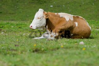 Kuh auf der Weide, Österreich, Sommer