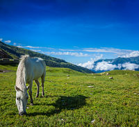 Serene landscape background - horse grazing on alpine meadow in Himalayas mountains. Himachal Pradesh
