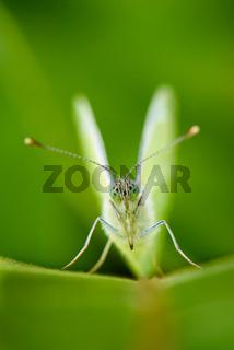 White Butterfly - Kohlweissling