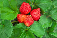 fresh strawberry with green leaf