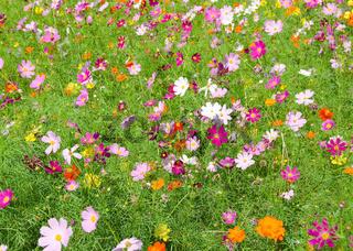 Ein Feld von Kosmeen im Herbst