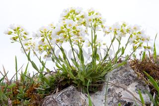 Bergtäschelkraut, Noccaea montana, syn. Thlaspi montanum