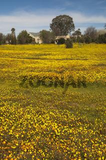 Frühlingsblüte in Namaqualand, Südafrika
